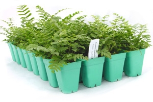 <p>Dryopteris marginalis (32 cell tray)</p>