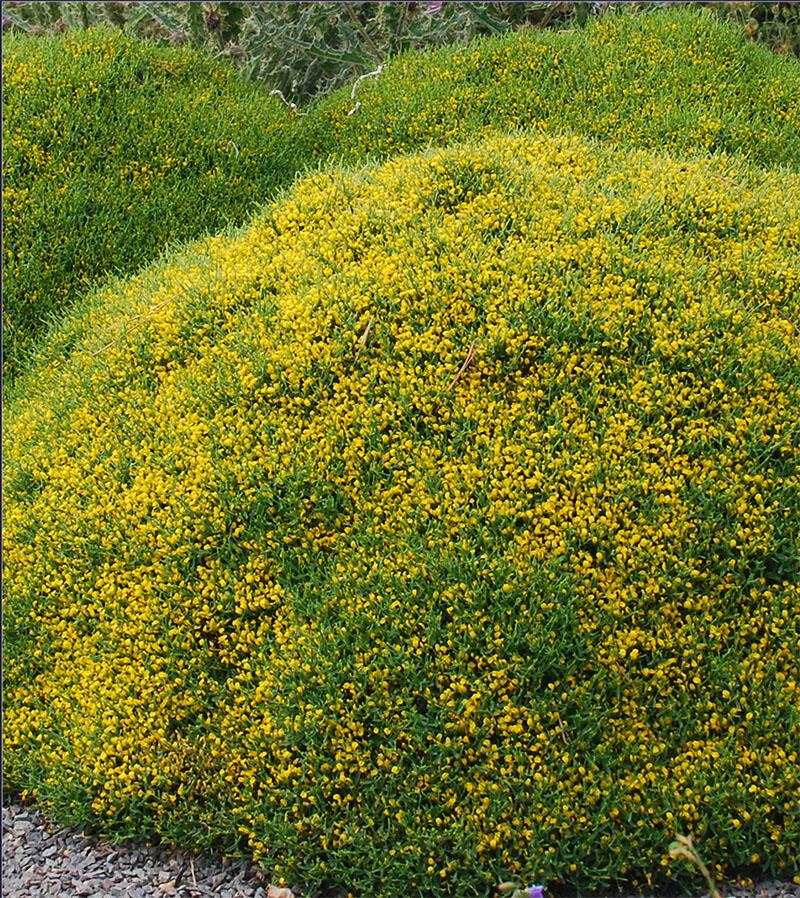 Hypericum calycinum perennial market wholesale